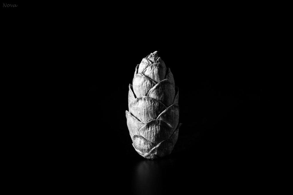 Eastern hemlock cone by novab