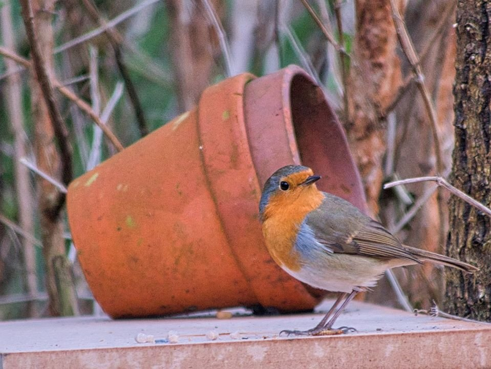 Robin in the Garden  by tonygig