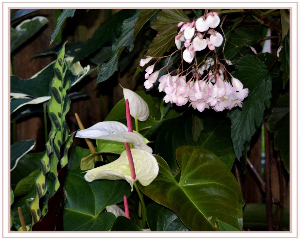 Anthurium.. white andreanum. ~ by happysnaps