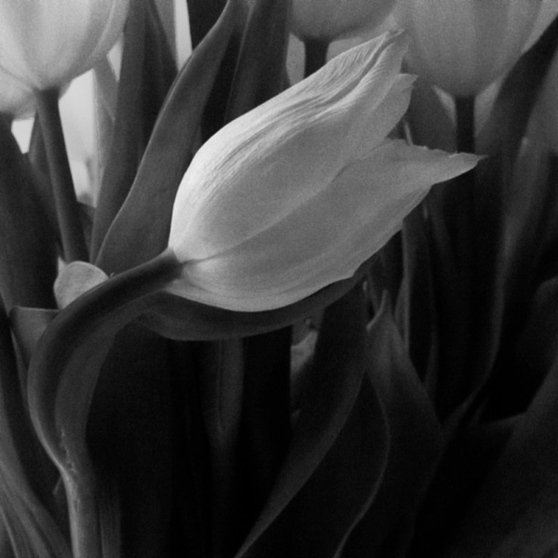 Tulip curves by helenhall