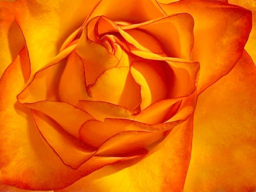 Rose L'Orange by joysfocus