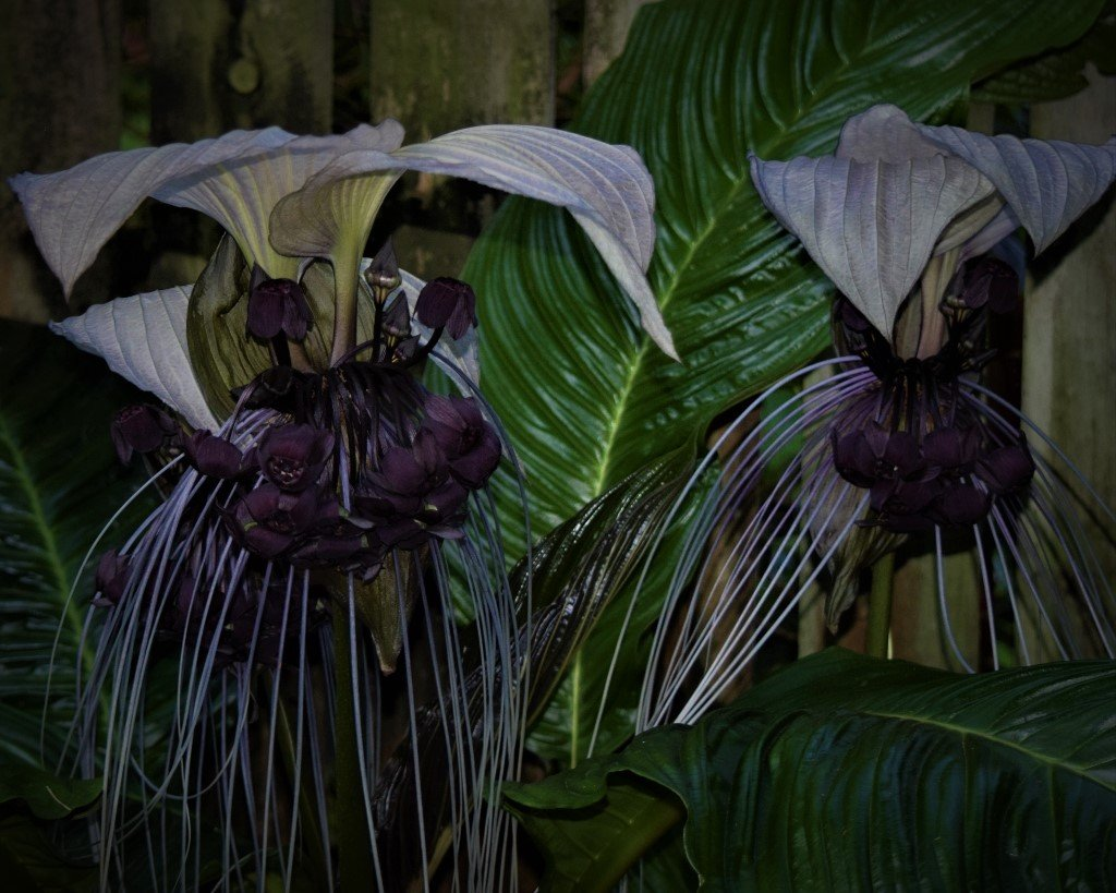 Tacca Chantrier – Black Bat Plant ~   by happysnaps