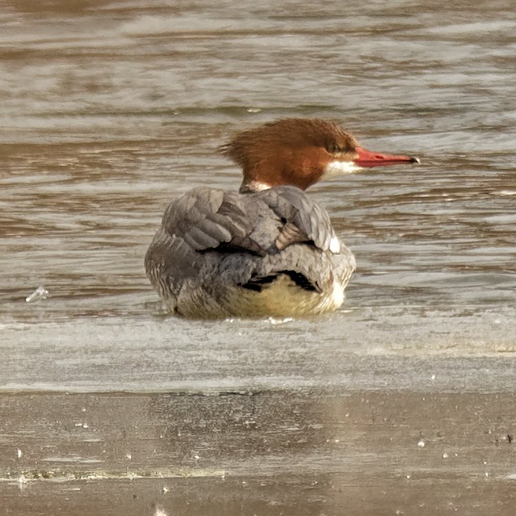 female common merganser  by rminer