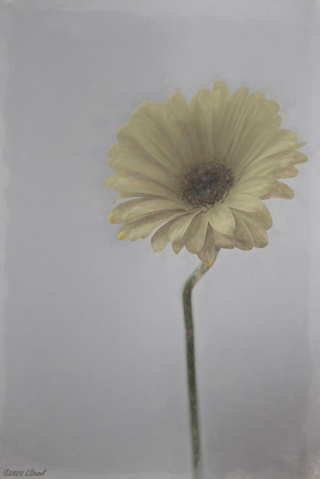 Gerbera Daisy by lstasel