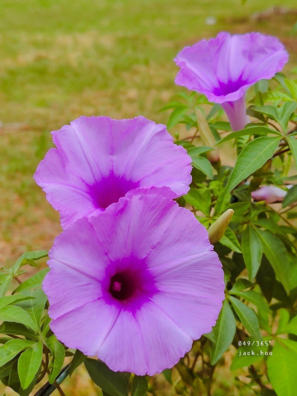 049/365⁴ : morning glory by jackhoo