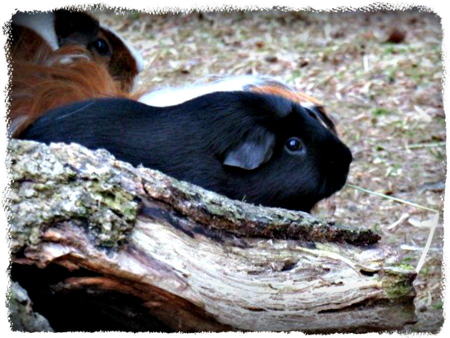 I Wish I Could Be a Guinea Bear v/a a Guinea Pig by moviegal1