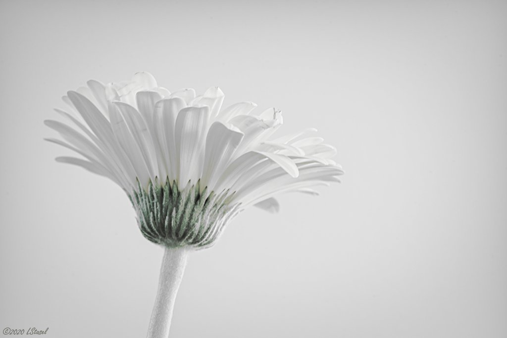 Daisy by lstasel
