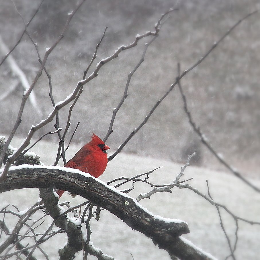 Cardinal on a Snow Day by calm