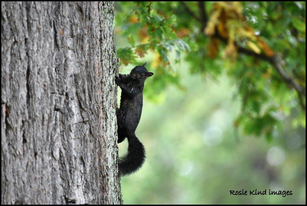 Black squirrel by rosiekind