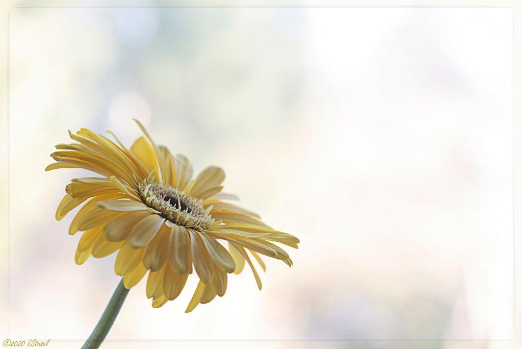Sunny Daisy by lstasel