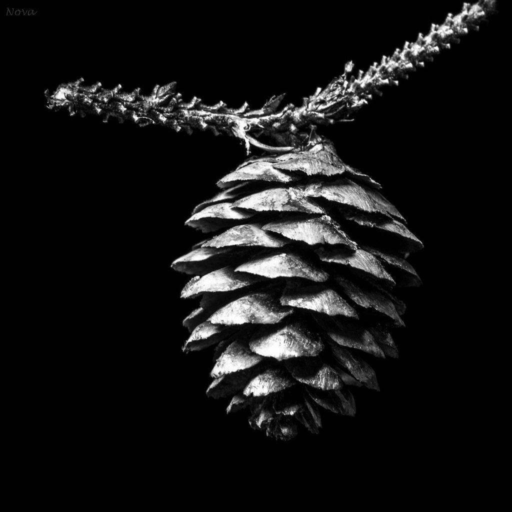 Spruce cone by novab