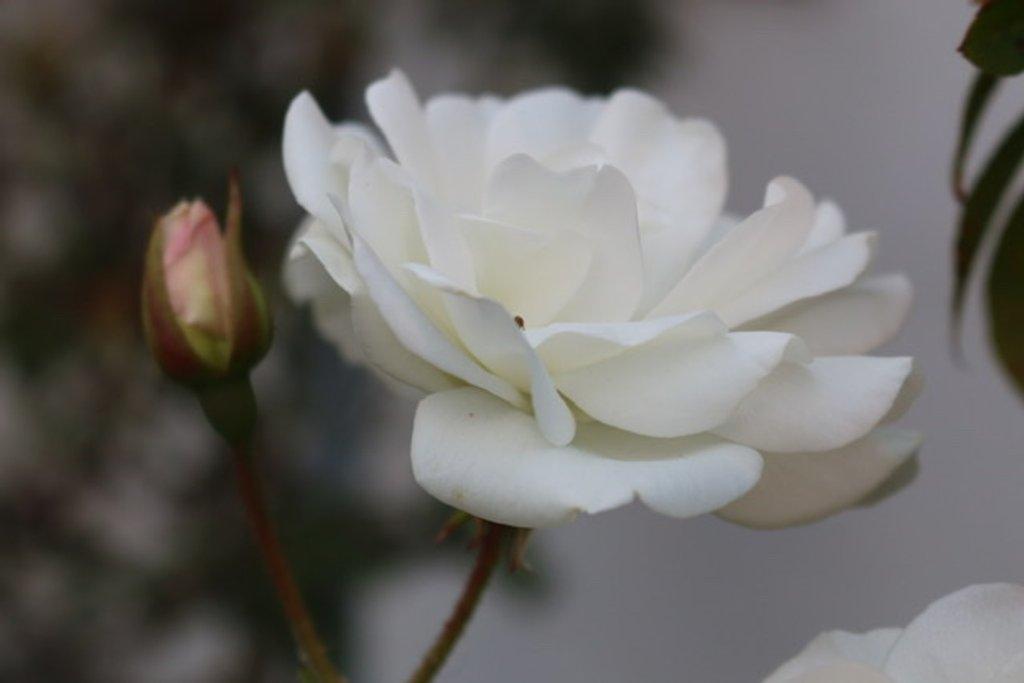 White rose by kathyboyles