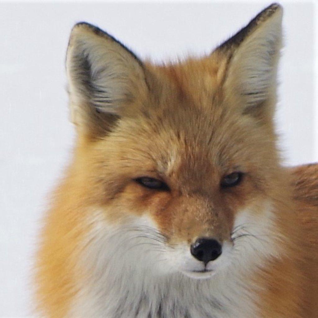 Foxy Lady by radiogirl