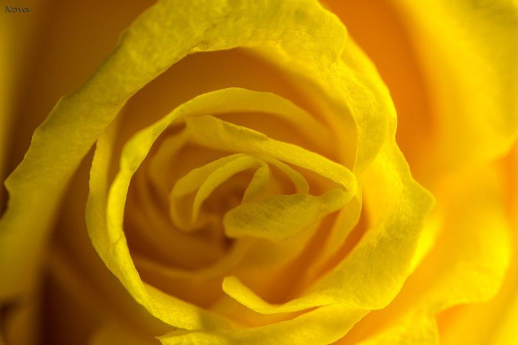 Yellow #4 by novab