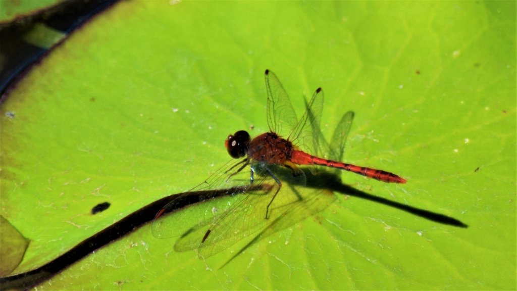 Red Dragon Fly ~   by happysnaps