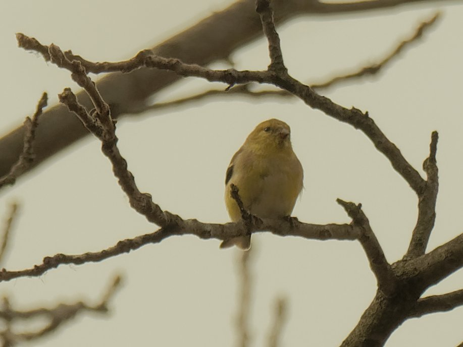 American goldfinch by rminer