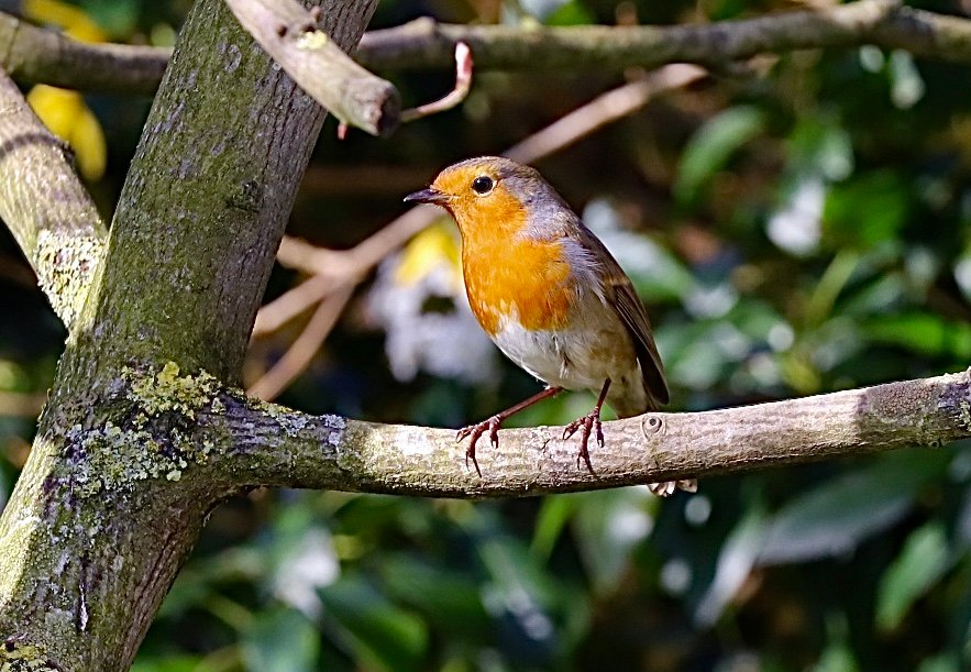 Mr Robin by carole_sandford