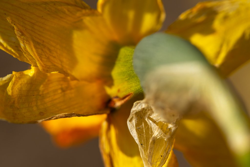 Back of the daffodil by leonbuys83