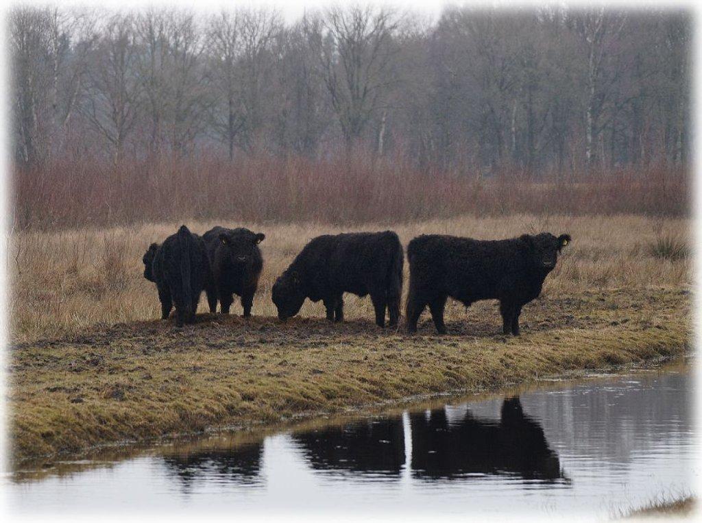 cattle by gijsje