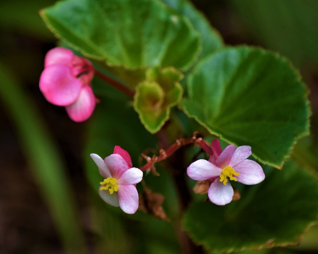 Tiny Begonia Flowers ~ by happysnaps