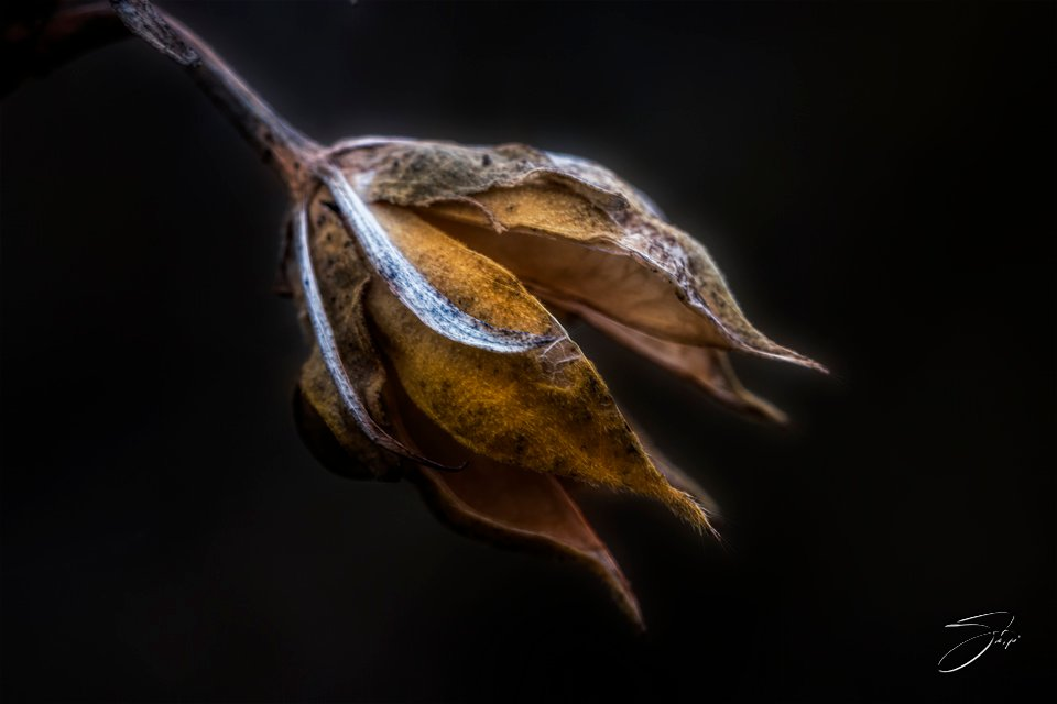 Empty Rose of Sharon Seed Pod by skipt07