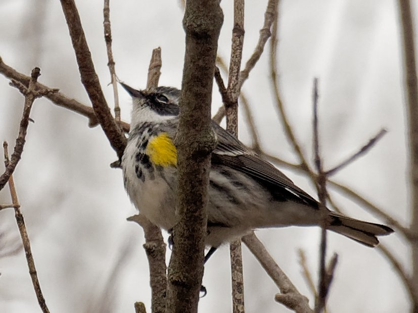 Yellow-rumped warbler  by rminer