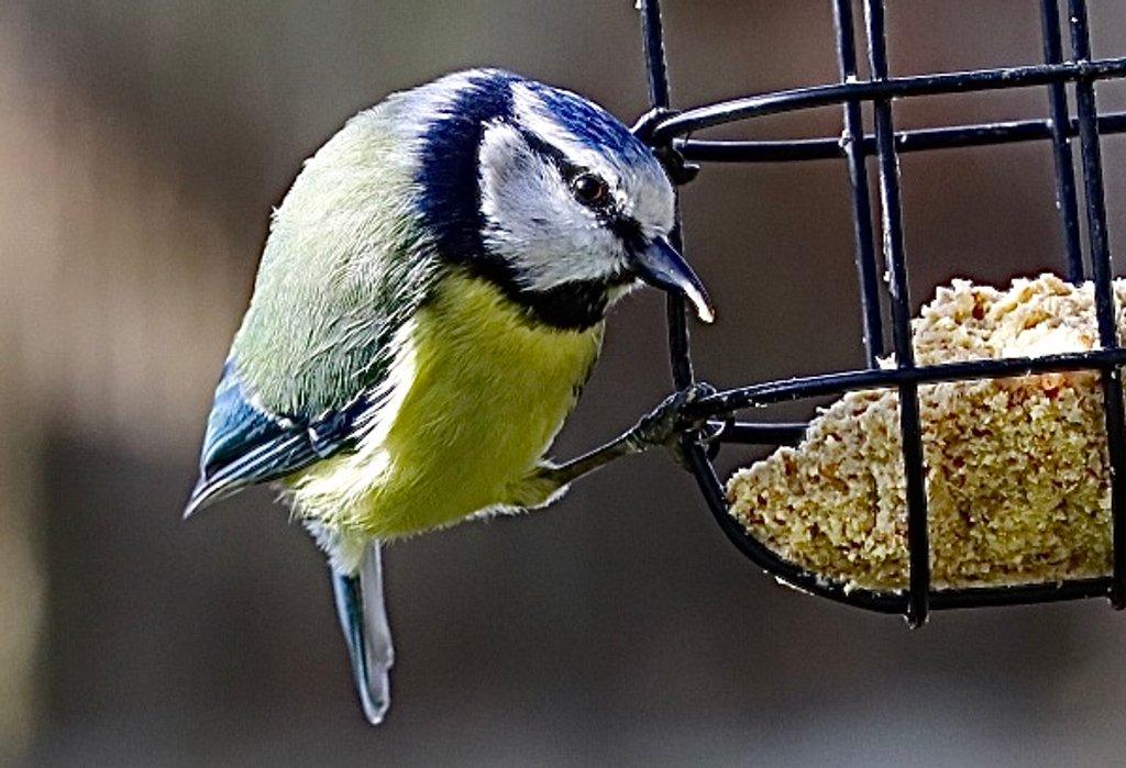 Blue Tit by carole_sandford