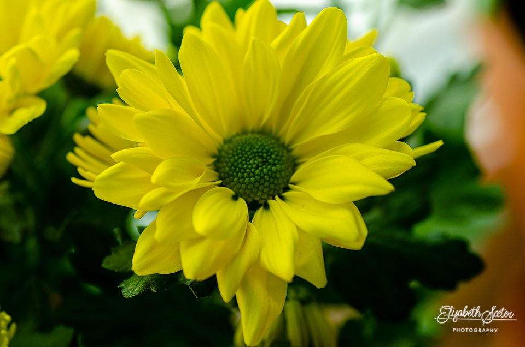 Yellow Chrysanthemum by elisasaeter