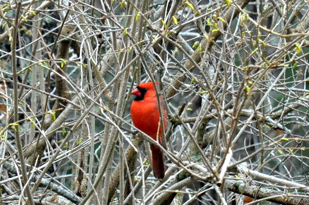 Solitary cardinal. by sailingmusic