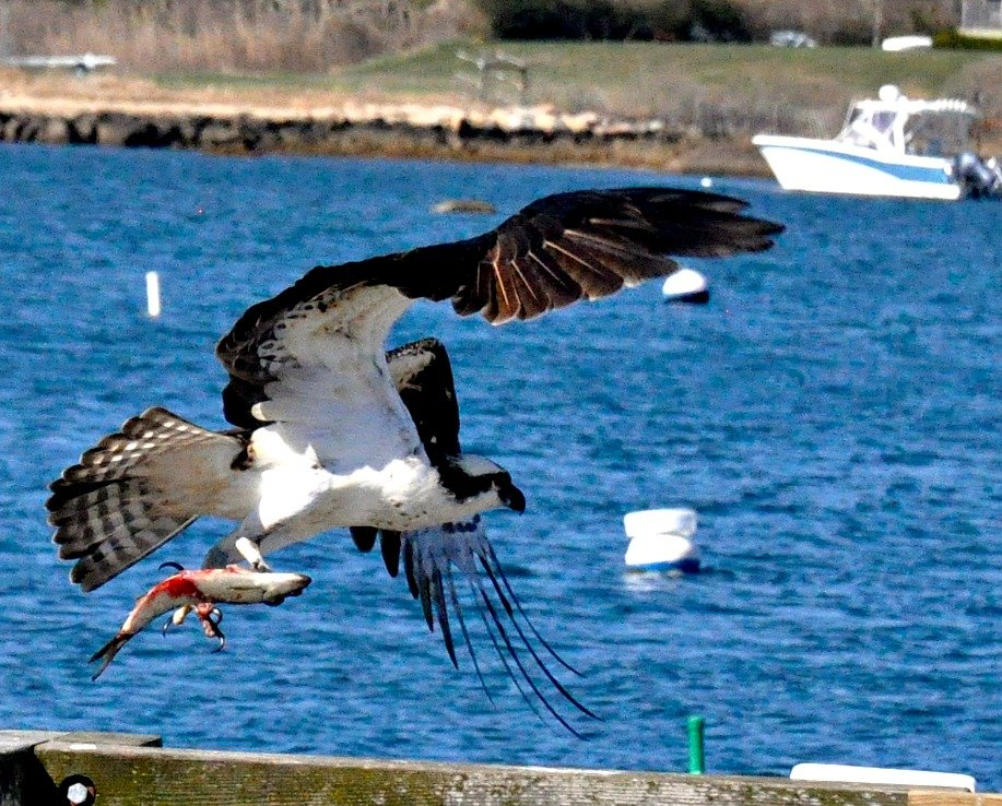 Osprey takes off..... by sailingmusic