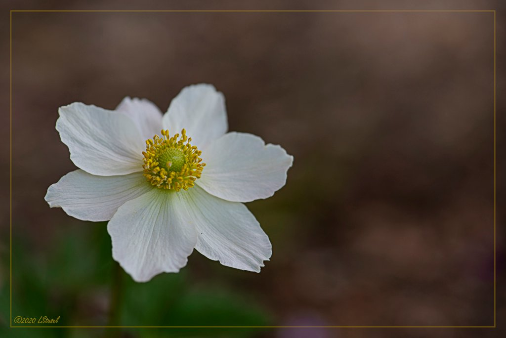 First Anemones by lstasel