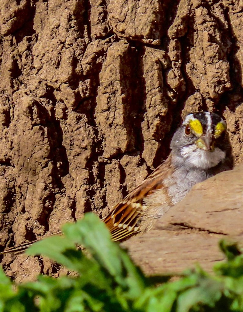 White Throated Sparrow by mzzhope