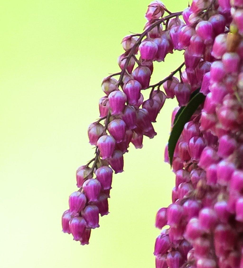 Pink pieris by mittens