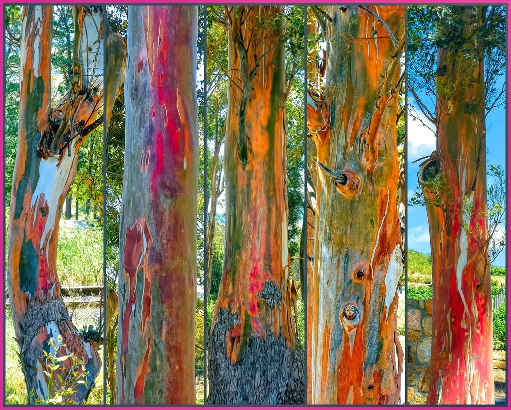 5 Rainbow Gum trees  by ludwigsdiana