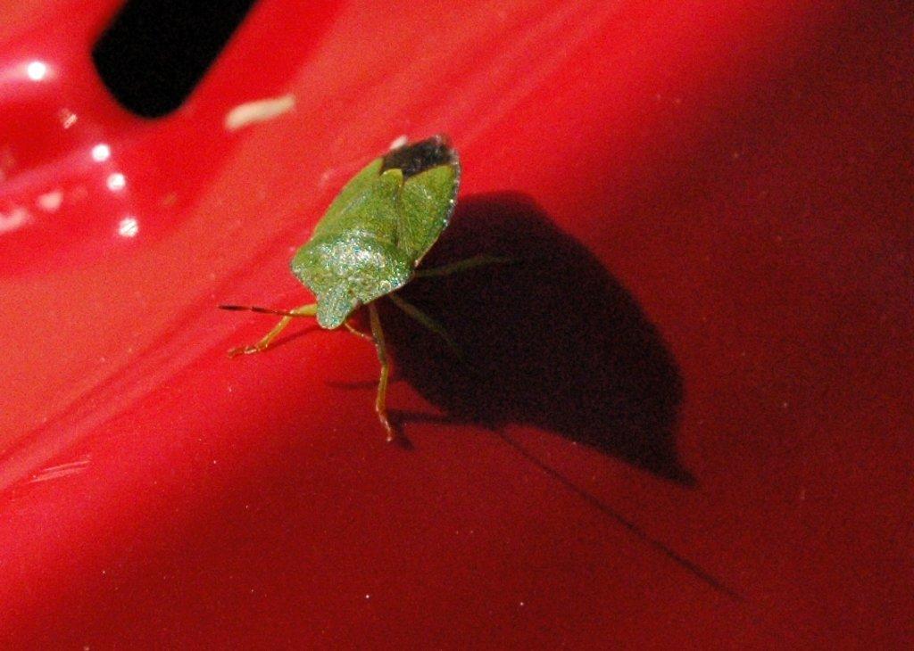 Shield Bug by arkensiel