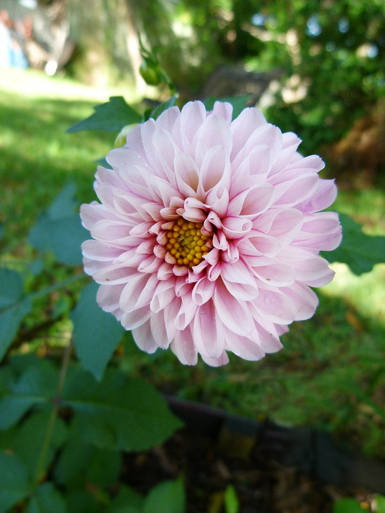 The Lone Dahlia by onewing
