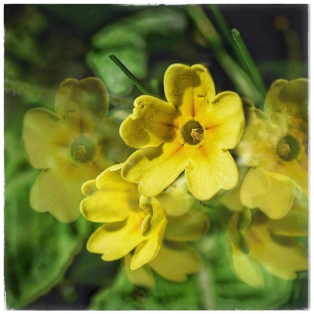 Primrose Day by photopedlar
