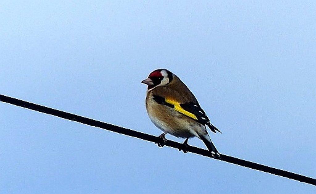 Goldfinch by g3xbm