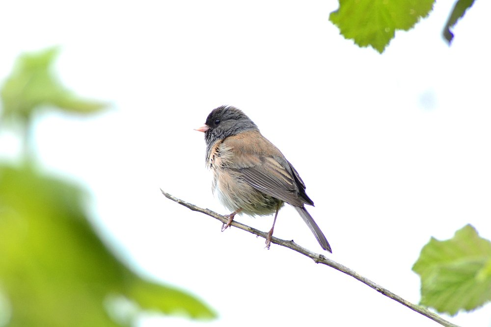 Oregon Junco by stephomy