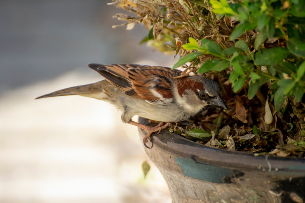Sparrow hunting out caterpillars  by bizziebeeme