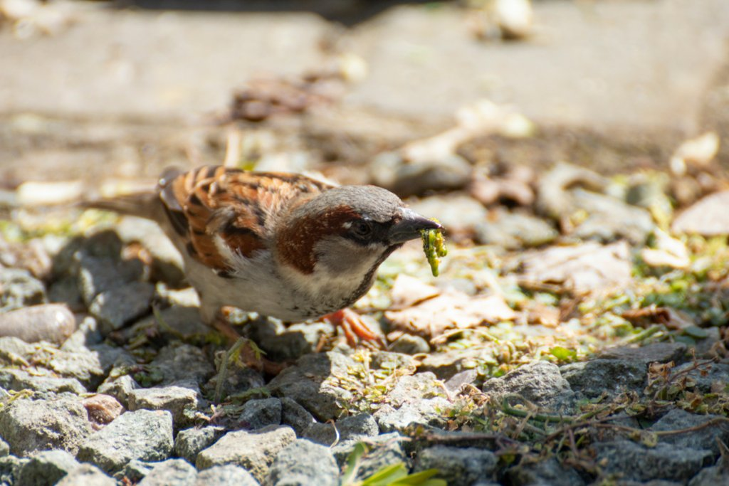 Sparrow with a caterpillar for lunch by bizziebeeme