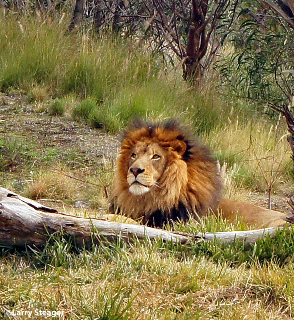Lion by larrysphotos