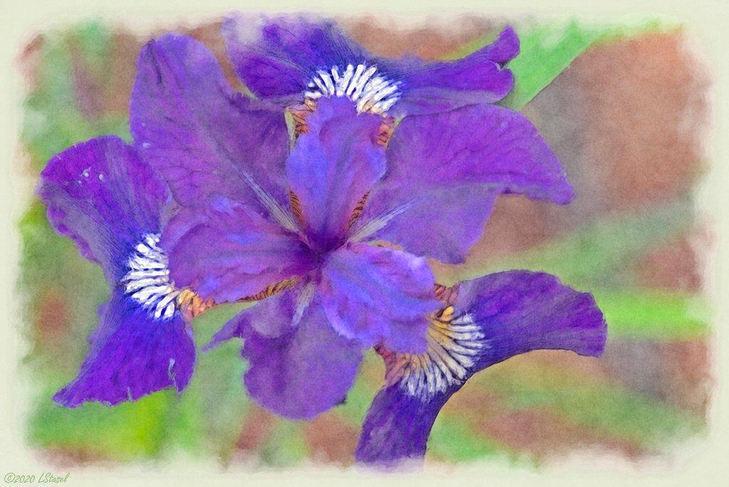 Iris by lstasel