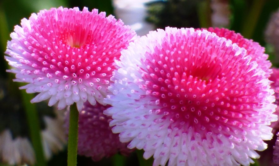 Pompom Daisies by fishers