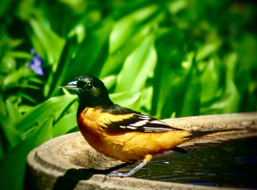 Oriole by mzzhope