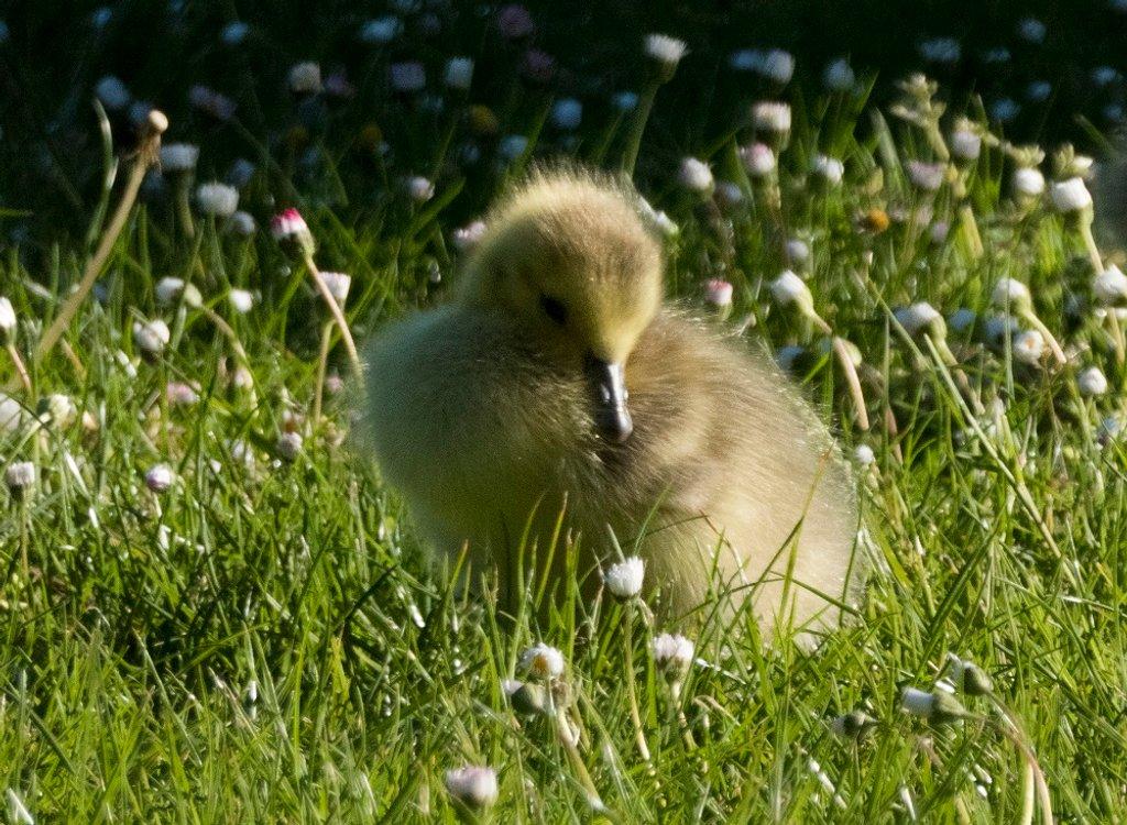 72, gosling by helenhall