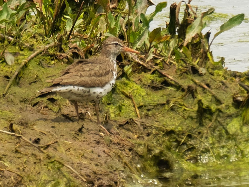 spotted sandpiper by rminer