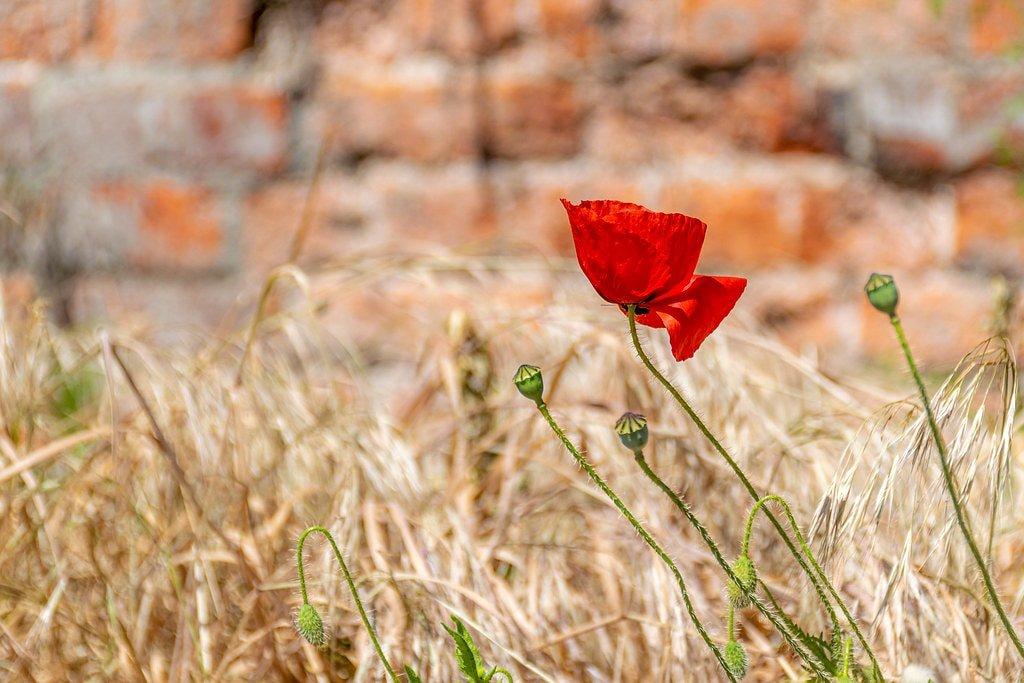Lone Poppy  by rjb71