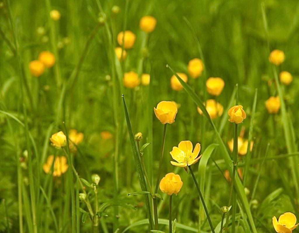 Buttercup by ruthmouch