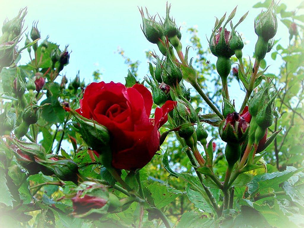 climbing rose by gijsje